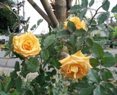 Various Types of Roses Existing in the World