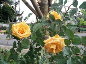 One type of yellow rose