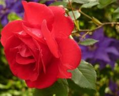 Know More About Red Roses