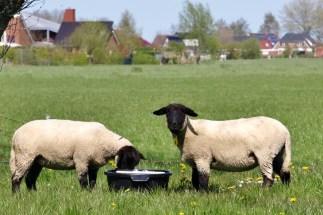 Clun Forest schapen, bij Oldehove