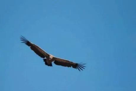 Des «vautours prédateurs» dans les Alpes : info ou intox ?