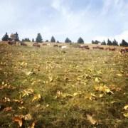 Des vaches en transhumance en Haute-Savoie.