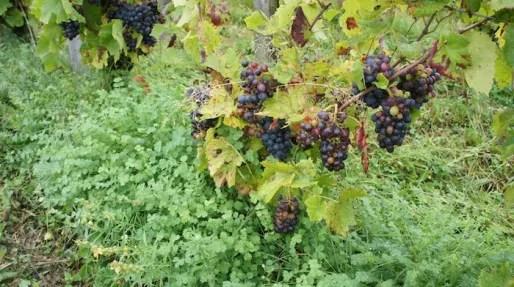 Les vignes de Bruno Perraud (les Côtes de la Molière), dans le Beaujolais. Crédit : DD/Rue89Lyon.