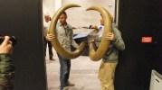 Les défenses du mammouth vont être montées. Crédit GB/rue89Lyon