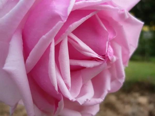 """Variété """"La France"""" inventée par Jean-Baptiste Guillot  fils en 1867. Un des grands noms de roses de l'""""âge d'or"""" lyonnais. Photo de 2009. © Ville de Lyon"""