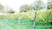 Vignes de la vallée du Grésivaudan, entre Chambéry et Grenoble. Au Touvet, Domaine des Rutissons