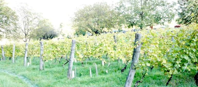 Dans l'Y Grenoblois, les dingues font renaître le vin