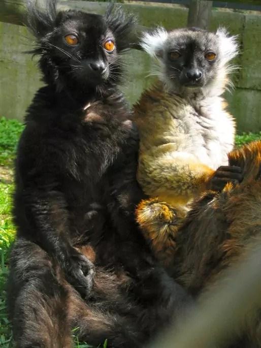 Des Lémuriens. Cette espèce étant protégée, elle n'est soumise qu'à des études comportementales et plus bio-médicales. (doc. remis)