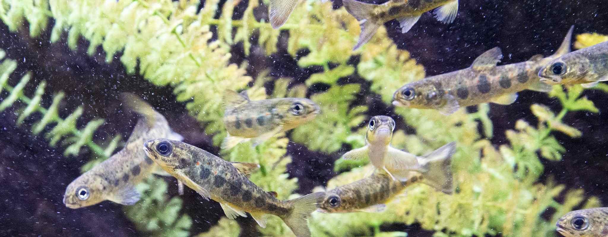 Pour remonter les saumons sur le Rhin, EDF veut utiliser… des bateaux