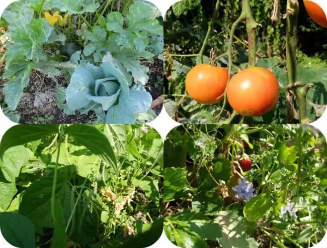 Choux et courgettes, tomates, haricots et fraises - jardin 2016 (Photo MM / Rue89 Strasbourg)