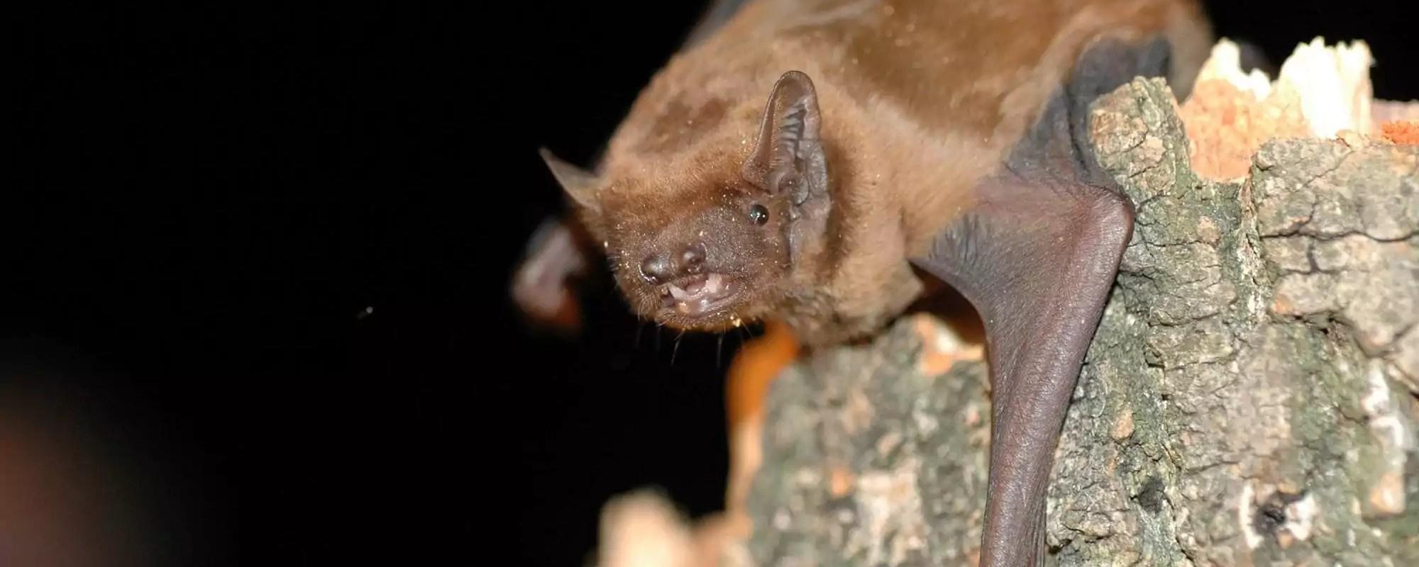 Les chauves-souris alsaciennes, un trésor de biodiversité menacé