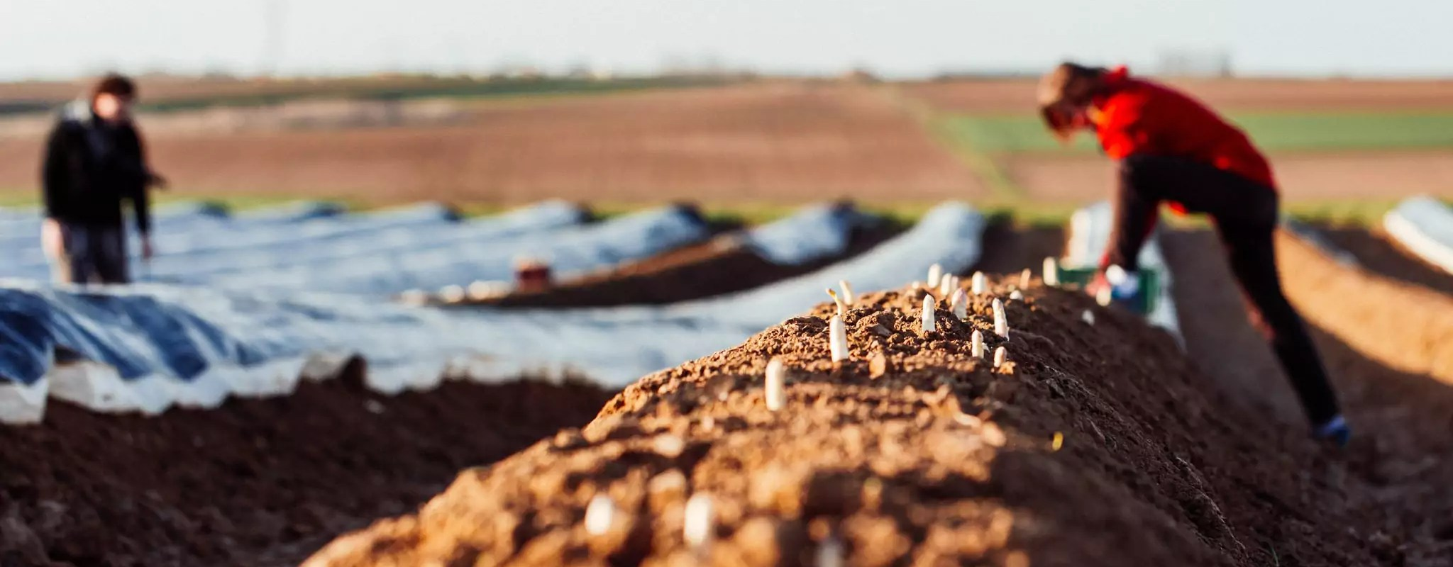 À Pfettisheim, les trois-quarts des asperges seront perdues malgré la main d'œuvre locale