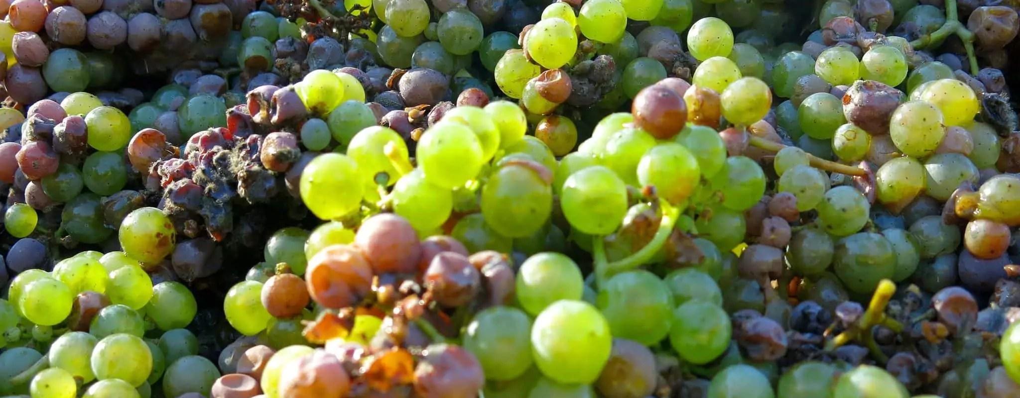 Mais pourquoi… l'Alsace est-elle spécialisée dans la production de vins blancs?