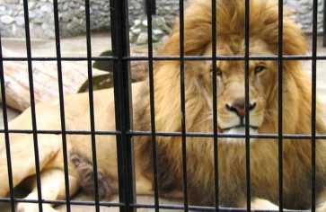 Leões na gaiola