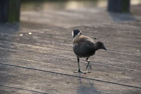 Vogelraptor