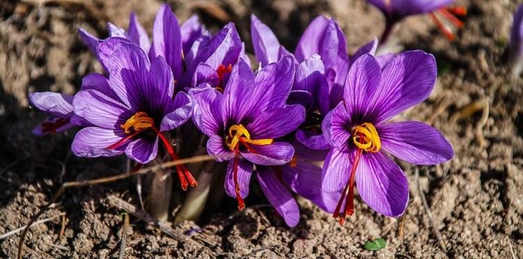 hanya 3 putih di bunga saffron, manfaat bunga saffron untuk kesehatan, rumah saffron