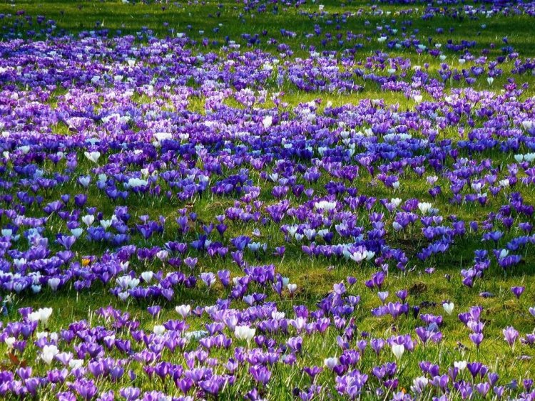 kebun bunga saffron, manfaat bunga saffron untuk kesehatan, rumah saffron