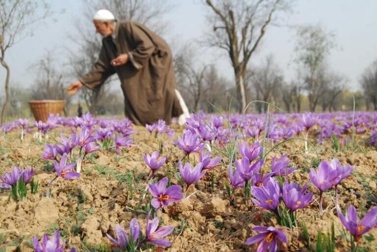 ladang saffron kashmir, rumah saffron