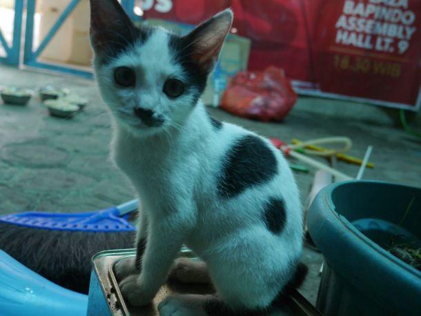 adopsi kucing sapi