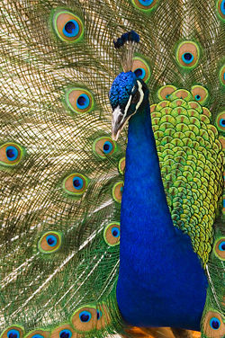 https://i2.wp.com/www.rumormillnews.com/pix4/250px-Oregon_zoo_peacock_male.jpg