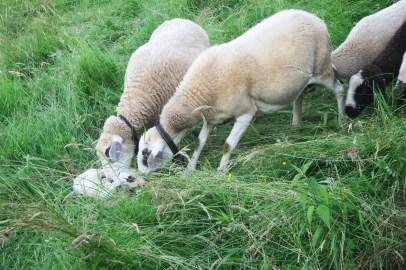 ... und der Rest der Herde darf das Kleine auch begrüssen