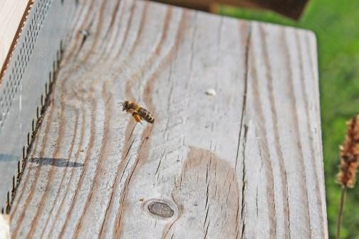 Biene mit vollen Pollensäcken