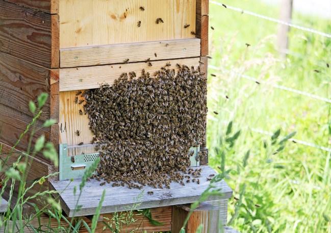 Sehr selten, anstatt im Baum oder Busch sammeln sich die Bienen am Schluss an ihrer Bienenbeute