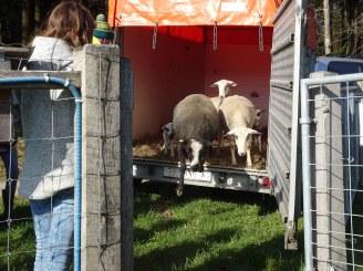Kurt bringt die Schafe am Samstagmorgen.