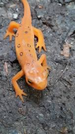 Smile Gecko, your in candid camera - photo by Joel