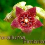 Caralluma Extract : All natural Appetite Suppressant