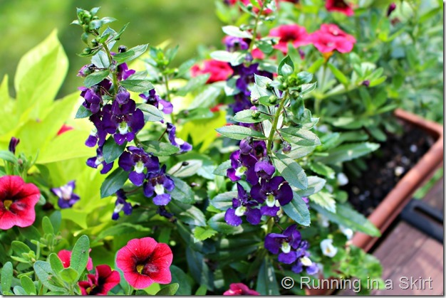 Flowers suggetions and ideas for a Full Sun Deck or Window Box - easy to find options and design!/ Running in a Skirt