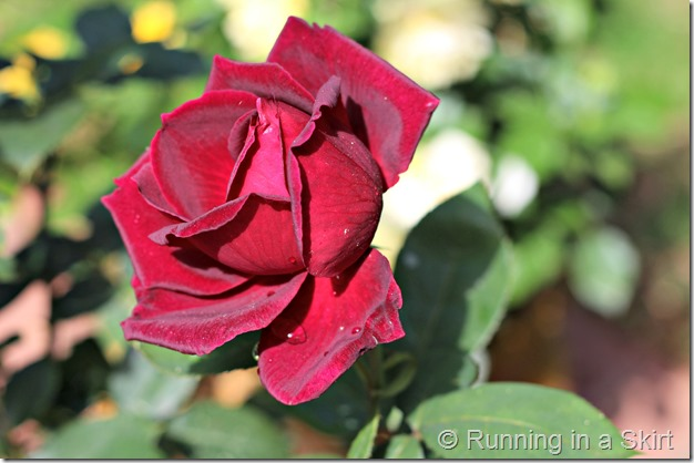 redrosebud1