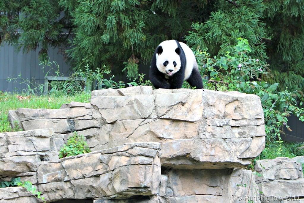 national_zoo_panda_mom.jpg