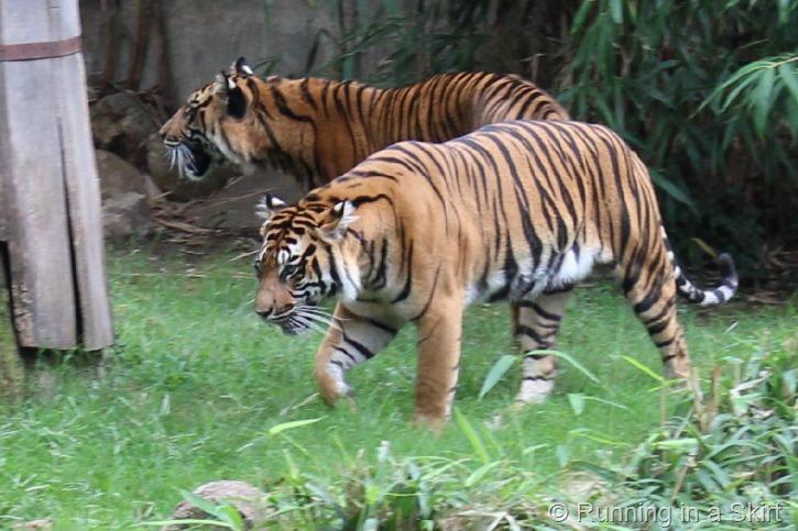 national_zoo_tiger.jpg