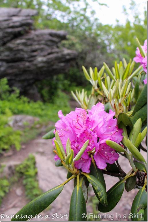 craggy gardens rhodeodendrons-1