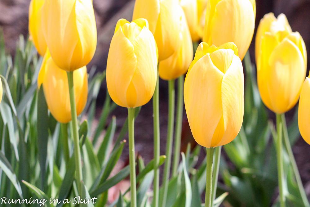 Biltmore Blooms Tulips