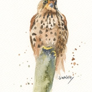 Watercolour painting. SWA011 - Kestrel.