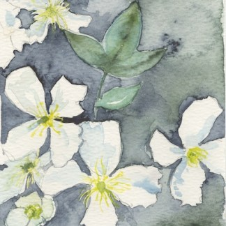Watercolour painting. LBA097 Clematis. Artist: Lori Bentley