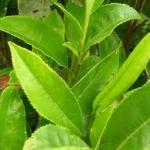 فوائد الشاي الأخضر و كيف نتجنب أضراره  Green Tea 3