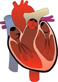 علماء يكتشفون بروتين يعيد للقلوب شبابها و يحارب الشيخوخة ! 8