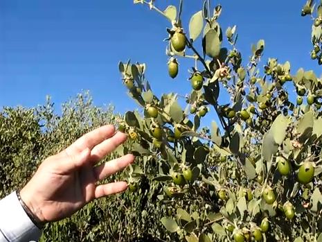 فوائد نبات الجوجوبا أو الذهب الأخضر - Jojoba tree 1