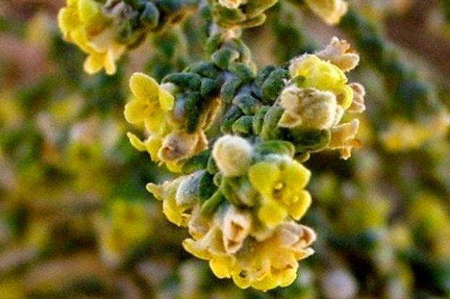 عشبة المتنان ( نبات المثنان ) فوائد عديدة و لكن ... 1