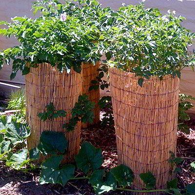 7 طرق لزراعة البطاطس (البطاطا) بنفسك في منزلك 7