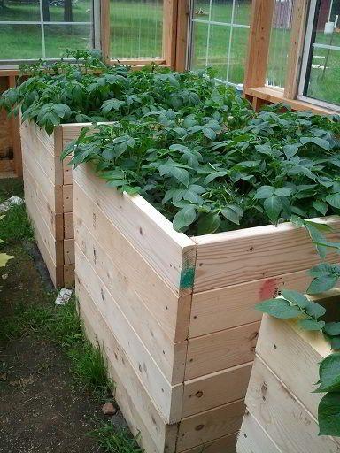 7 طرق لزراعة البطاطس (البطاطا) بنفسك في منزلك 11