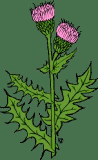 فوائد عشبة السلبين المريمي ( الخرفيش ) 22