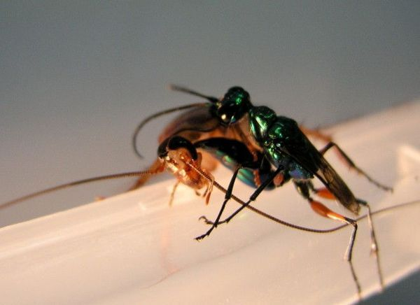 دبور الصراصير يهاجم الصرصور