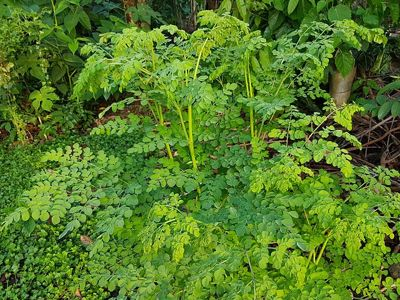 أغصان شجرة المورينجا