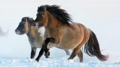 محاولة لإستنساخ حصان منقرض منذ 42 ألف عام 2