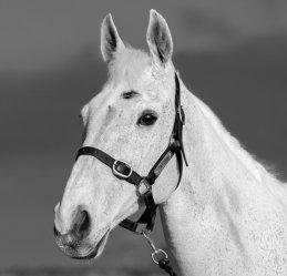 Rupert Gibson Photography 2019 Equestrian - bobby 1