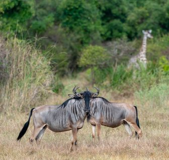 Rupert Gibson Photography - 2018 Tanzania Safari images from the Selous Game Reserve-113